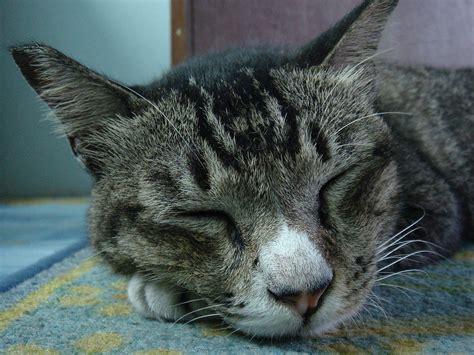 Sho Kucing file gambar dekat muka kucing belang perang brown