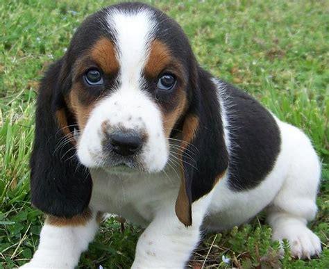 basset hound puppies for adoption volpino italiano sale singapore volpino italiano puppies buy buy volpino italiano