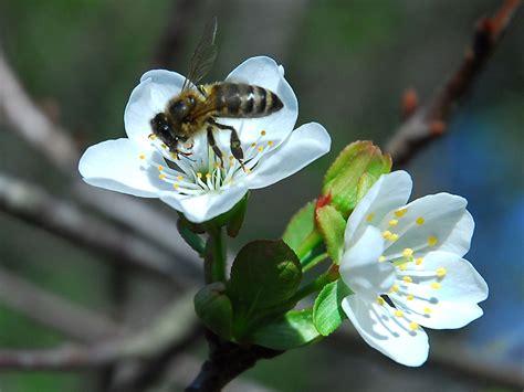 fiori di melo dolci e profumati fiori di melo immagini e sfondi per