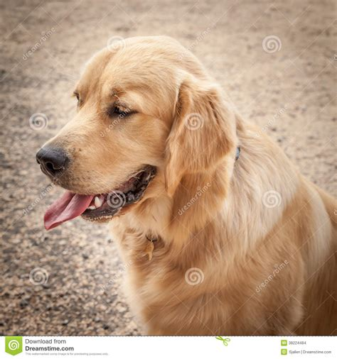 golden retriever tongue golden retriever in profile sitting on a path with tongue ou stock images image