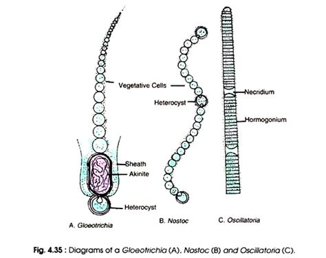 oscillatoria diagram cell structure of cyanobacteria microbiology