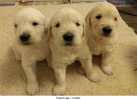 golden retriever puppies for sale in suffolk kc registered golden retriever puppies for sale sudbury suffolk pets4homes