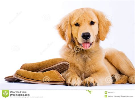 golden retriever slippers golden retriever with slippers stock photography image 20917012