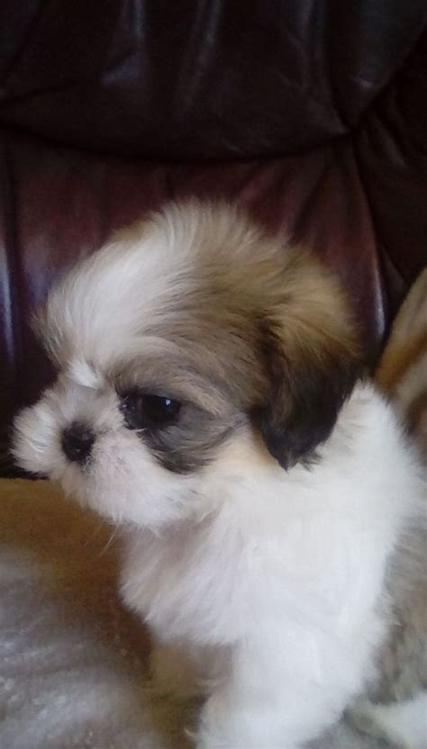 small shih tzu for sale small shih tzu puppy for sale halesowen west midlands pets4homes