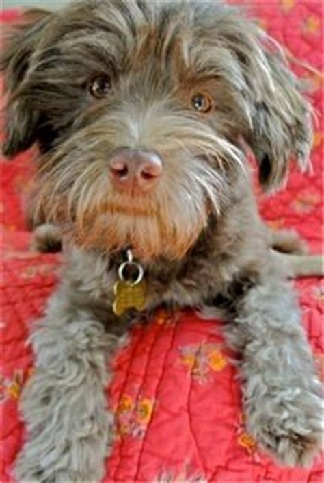 havanese rescue pa 1000 images about havanese my favorite breed on havanese puppies