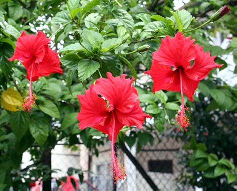Flower Bunga the beautiful flower hibiscus bunga raya visuallens