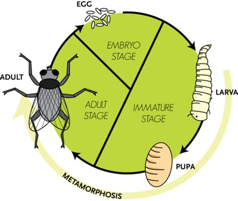 wasp cycle diagram arthropods and insects ck 12 foundation