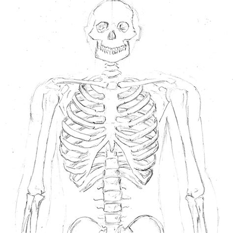 anatomy sketches the skeleton john pile jr sketchbook