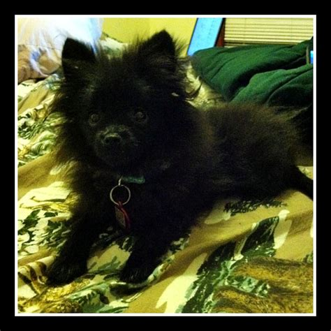 sick pomeranian how vacation almost killed our family pet