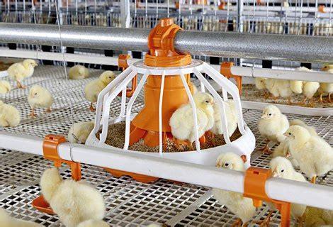 Alas Kandang Ayam House cara beternak ayam tanpa menggunakan litter atau sekam