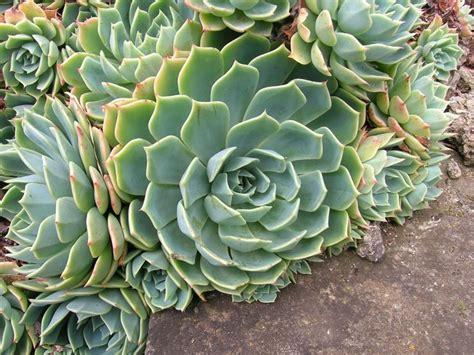 piante grasse in giardino l echeveria piante grasse coltivazione echeveria