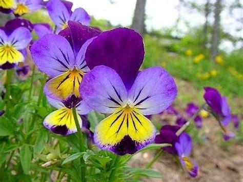 foto di fiori viole fiore viola piante annuali la viola