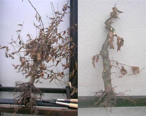 wann bäume schneiden hainbuche schneiden gro e hainbuche schneiden mein sch
