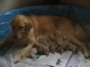 cincinnati puppies for sale golden retriever puppies for sale near cincinnati ohio dogs our friends photo