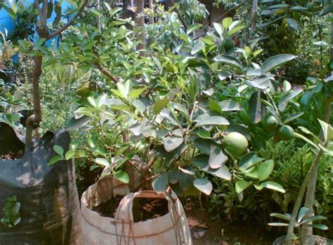 Bibit Tanaman Jeruk Purut Dengan Pot cara menanam jeruk nipis dalam pot generatif