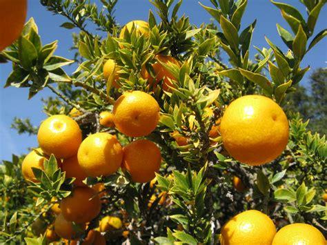 tree with small orange fruit orange trees hd wallpaper