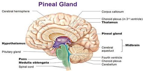 Http Humansarefree 2017 07 Pineal Gland How To Detox Part Of Your Html More by How To Decalcify Pineal Gland Open And Activate The Third
