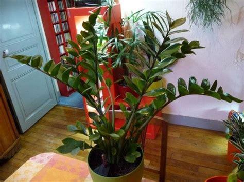piante verdi da appartamento pianta da appartamento il verde