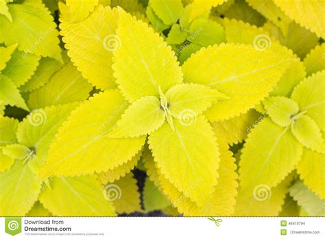 yellow coleus leaves painted nettle flame nettle stock photo image 46410794