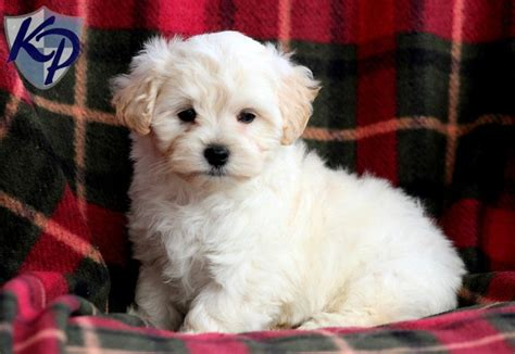 maltipoo puppies for sale maltipoo keystone puppies puppies for sale in pa