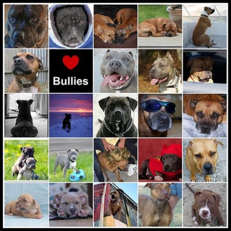 are there different types of rottweilers bully buddies