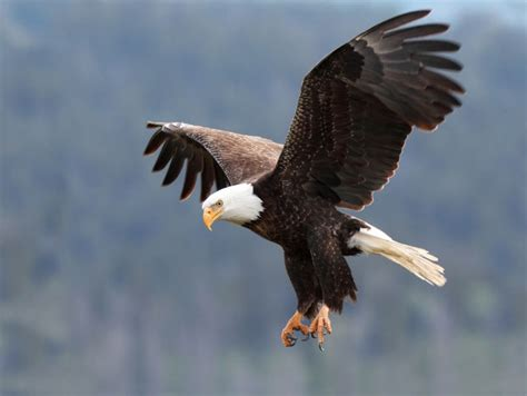 The Bald Eagle American Symbols here s why the bald eagle is the symbol of america