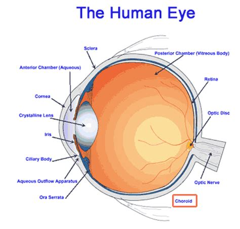 cross section of the human eye choroid causes symptoms treatment choroid