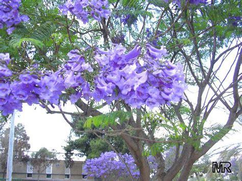 imagenes de flores jacaranda sin br 250 jula noviembre en buenos aires