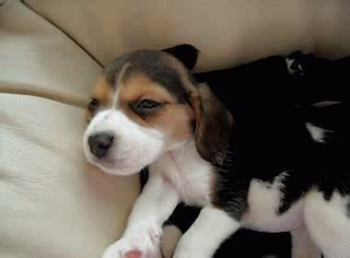 sleepy puppy gif 10 facts about beagles