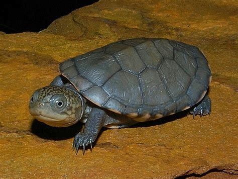 west african side necked turtles for sale from the turtle source