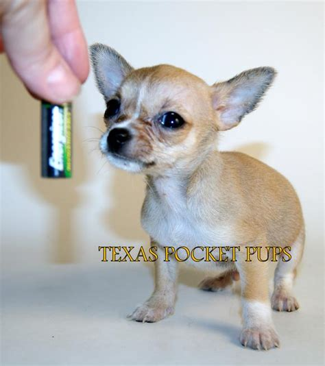 teacup chihuahua puppies for sale in houston texas teacup chihuahua puppies for sale in texas micro pocket