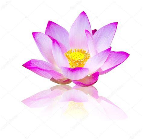 fiore di loto bianco fiore di loto bianco foto stock 169 missisya 53327333