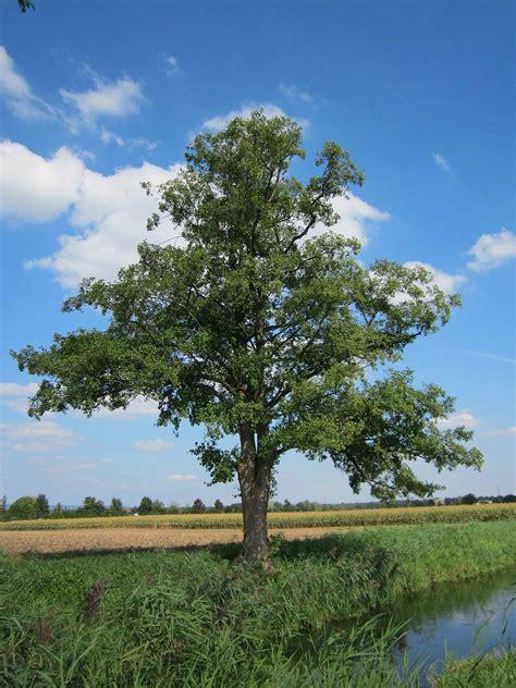 Tree L by Alnus Glutinosa