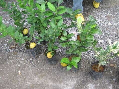 15 Benih Buah Tin cara paling mudah membiakkan pokok lemon hobi koleksi