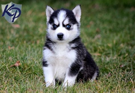 husky mix puppies for sale 1000 ideas about siberian huskies on siberian husky siberian husky