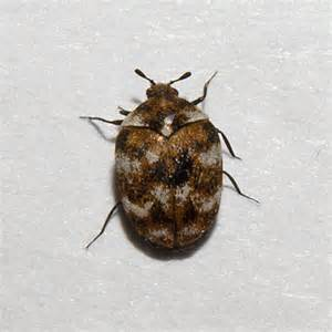 Carpet Beetles In by Varied Carpet Beetle Anthrenus Verbasci Bugguide Net