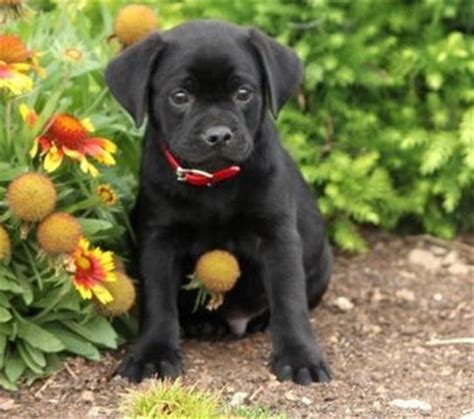 black lab and pug mix beautiful dogs beautiful and pug on