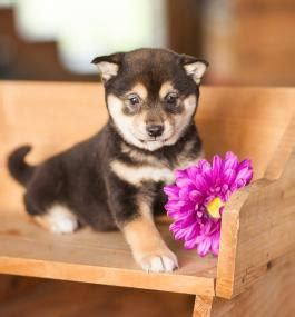 shiba inu puppies for sale in ohio shiba inu puppies for sale lancaster puppies