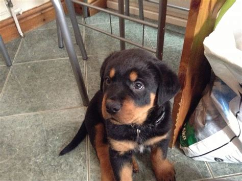 puppy rottweilers for sale rottweiler puppies for sale spalding lincolnshire pets4homes