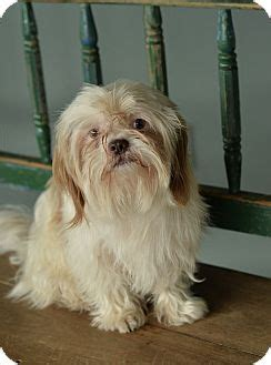 shih tzu puppies san antonio tx san antonio tx shih tzu mix meet sarge a for adoption