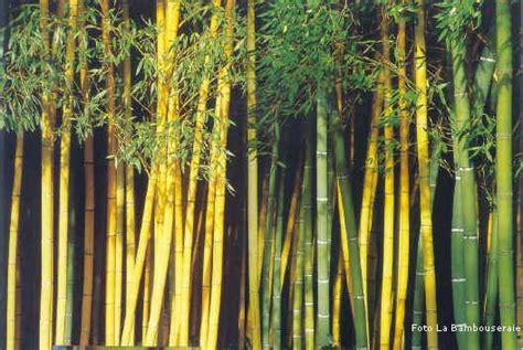 giardino di bambu il bamb 249 creare barriere siepi e arredare il giardino
