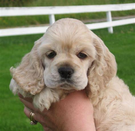 cocker spaniel puppies for sale in pa de 25 bedste id 233 er inden for cocker spaniel p 229 hunde og hundehvalpe