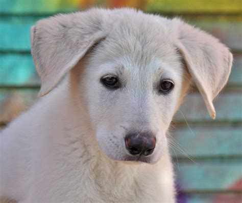 how much should a 10 week puppy eat 10 week german shepherd common information and pictures