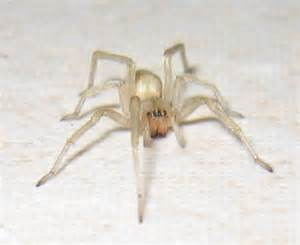 Spider White Human Skin Parasites Yellow Sac Spider