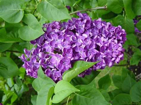 lilac lilacs how to plant grow and care for lilac shrubs