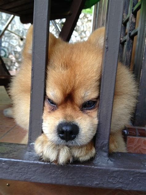 chow chow pomeranian mix for sale 1000 images about animals