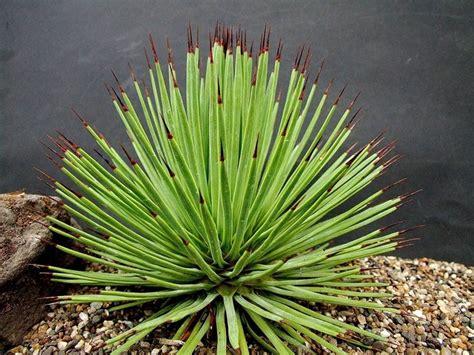 agave in vaso agave piante grasse coltivazione agave
