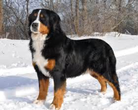 Appenzell mountain dog appenzeller breeders puppies and breed