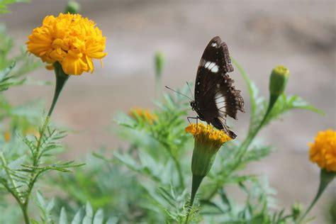 Kupu Hitam macro photography quot euploea quot kupu kupu gagak quot hitam