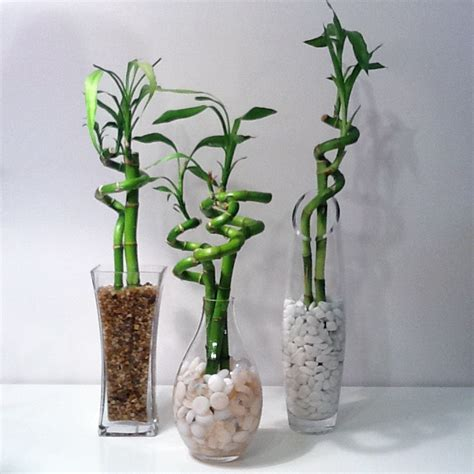 Lucky Bamboo Vase by Thrifting Is Therapy Lucky Bamboo For You Thrift Store Style